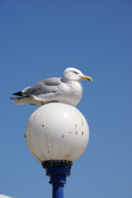 Eastbourne seagull